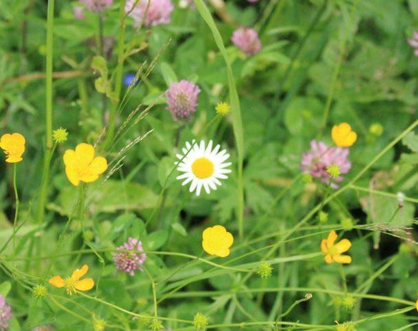 Blumenwiese Stillebach im Pitztal